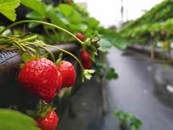 善化草莓產紅了 遊客搶嘗鮮