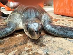 花蓮》罕見欖蠵龜嘴邊遭釣鉤及魚線困住 海巡即刻救援