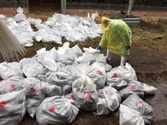 又爆禽流感! 大城土雞場撲殺4萬680隻雞