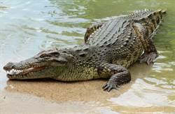 工人河邊失蹤 逮4.2m巨鱷剖腹嚇傻