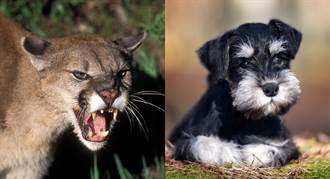 美洲獅啃咬寵物犬 女主人徒手搶救