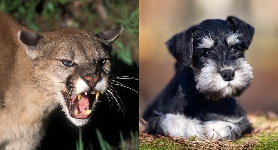 美洲獅啃咬寵物犬 女主人徒手搶救(示意圖/ 取自達志影像)