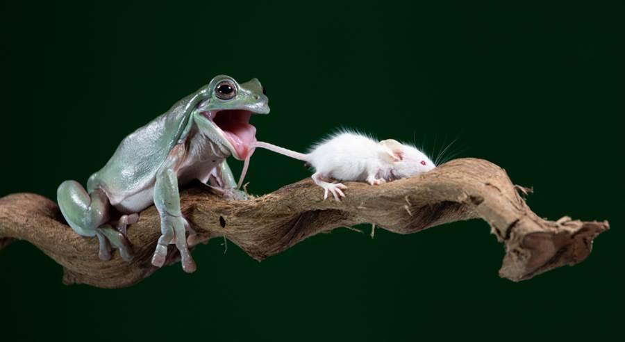 青蛙張嘴欲吞鼠 下秒結局神展開(示意圖/達志影像)