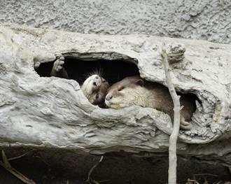 寒流來襲!動物怎禦寒?小爪水獺躲樹洞夢「周公」