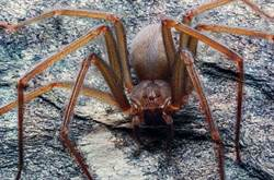 躲在家具裡!新品種劇毒蜘蛛咬一口就潰爛