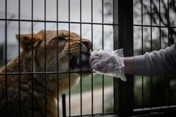 動物園獅子吃肉 飼育員手臂被咬爛