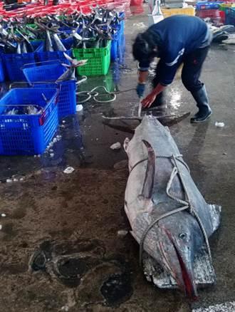 罕見!梧棲漁港捕獲189公斤大旗魚