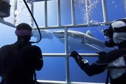 大白鯊撞籠猛掙扎 遊客面前噴血慘死