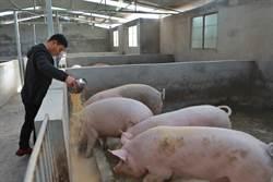 陸炒豬團趁火打刧  非洲豬瘟防疫難上加難