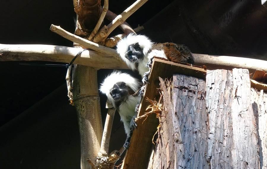 棉頭絹猴情侶甜密密 穿山甲館隨時大放閃。(台北市立動物園提供)