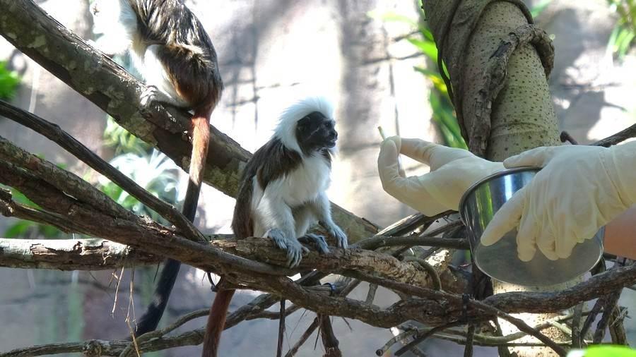 保育員與棉頭絹猴的感情很好。(台北市立動物園提供)
