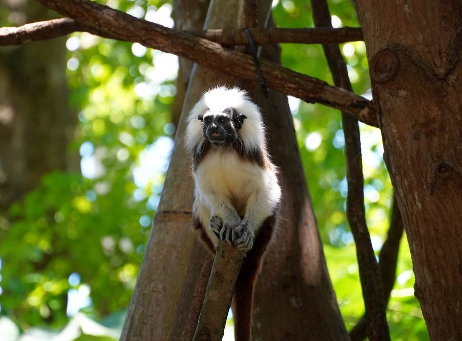 日行性的棉頭絹猴在白天活力旺盛。(台北市立動物園提供)