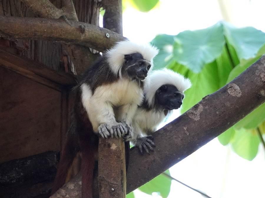 冷冷的日子最適合棉頭絹猴小倆口窩在一起甜蜜取暖。(台北市立動物園提供)