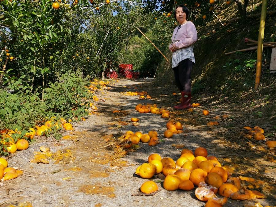 詹姓果農的柑橘因遇霜害又缺工採收,任其掉落一地,損失上百萬。(劉秀芬攝)