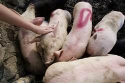豬瘟疫情擴大!印尼河中撈起上千腐爛豬