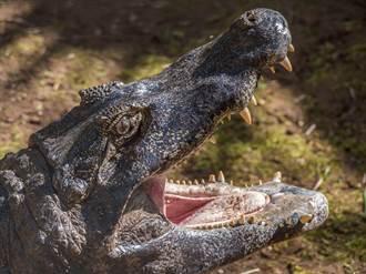 牧場牛頻消失!逮到恐龍級巨鱷 專家驚呼
