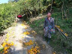 白河柑橘園徵無工採收損失重 農委會啟動農技團支援