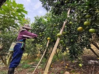 柑橘寒害風險高 議員籲應針對採收作物特性提出救助辦法