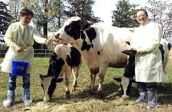全球首例!屏科大培育出耐熱荷蘭牛