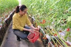 愛情果園番茄紅了 溫室栽培開放採果至明年5月