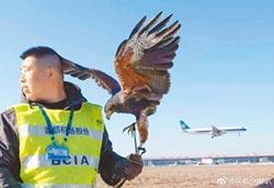 猛禽護航 鷹隼入駐京首都機場