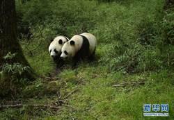 四川臥龍首次拍到野生大熊貓亞成體雙胞胎