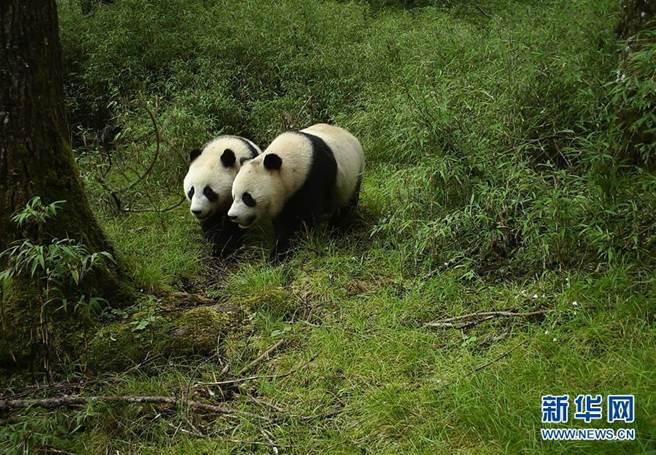 四川臥龍首次拍到野生大熊貓亞成體雙胞胎。(照片取自新華網)