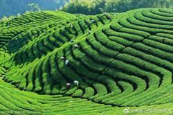 聯合國定5月21日為國際茶日 藉茶產業為發展中國家減貧