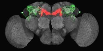 中研院破解腦迴路之謎 以果蠅找到飢渴動機