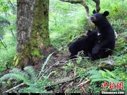 四川臥龍:首次拍到亞洲黑熊哺乳畫面
