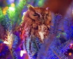 嚇壞!貓頭鷹聖誕吊飾竟轉頭了 劇情神展開