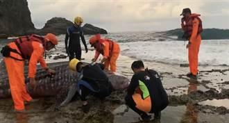 1噸重豆腐鯊擱淺綠島 歷經2小時成功救援