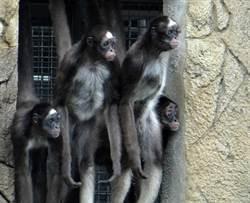 動物園「屁孩集團」惡名昭彰!愛搗蛋還會嚇到「挫屎」