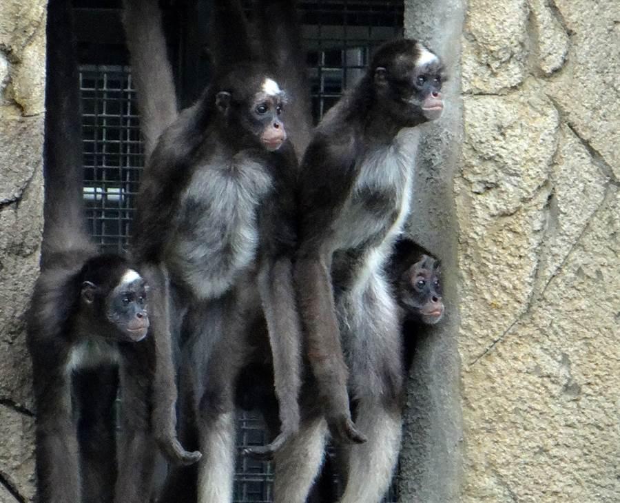 住在熱帶雨林區惡名昭彰的「屁孩集團」 - 4隻年輕公棕蜘蛛猴。(台北市立動物園提供)