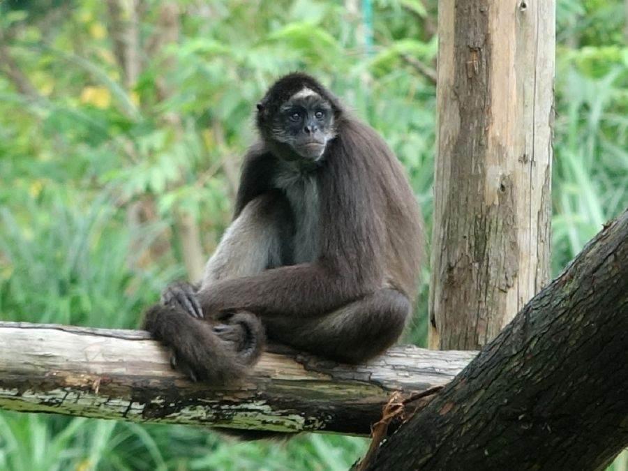 棕蜘蛛猴「屁孩集團」成員之間的關係說來微妙。(台北市立動物園提供)