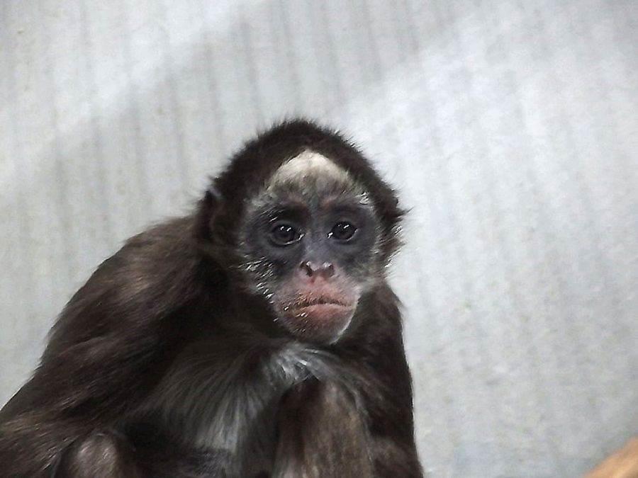 「Manni」頭上白斑三角形明顯但寬,嘴角會往下彎,地位最低,常常單獨一隻。(台北市立動物園提供)