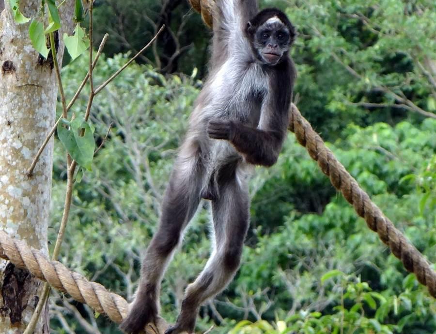 跟人一樣長的樹枝,都可能在屁孩們打鬧的過程中被折斷,讓保育員哭笑不得。(台北市立動物園提供)