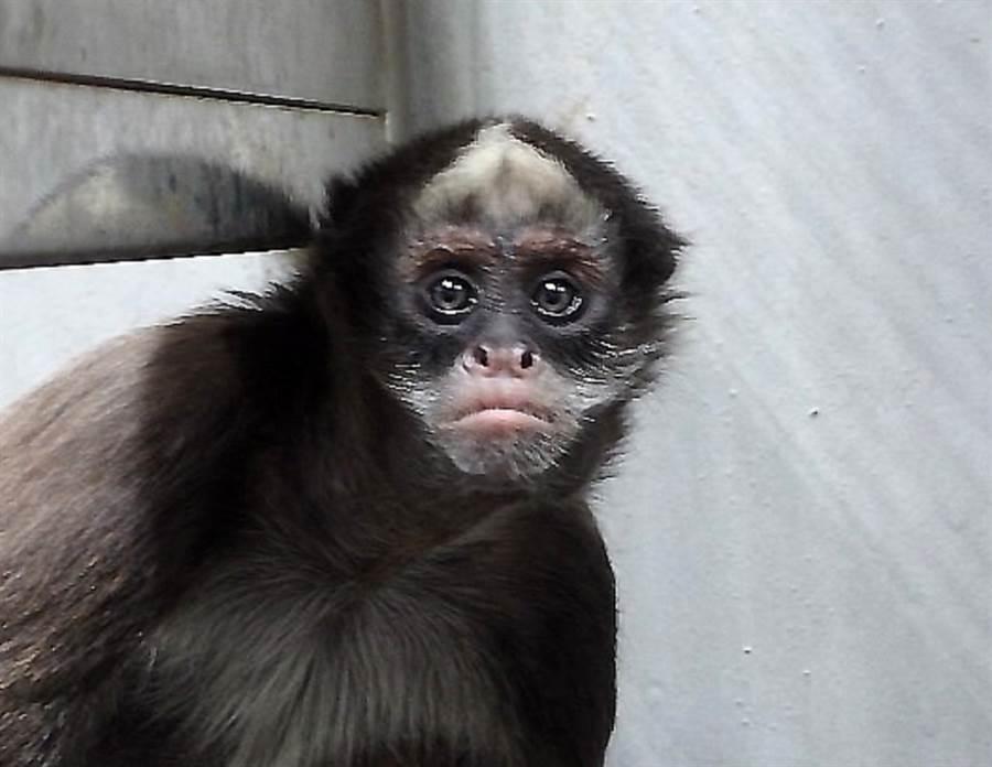 「Pedro」頭上白斑明顯,白色往後方延伸,最愛亂叫,易緊張,現在是老大。(台北市立動物園提供)