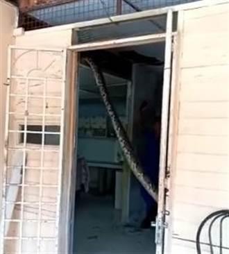 嚇破膽!回家開門 驚見巨蟒掛門口樑上「盪鞦韆」