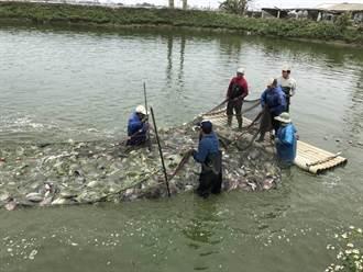 台灣鯛價格疲軟 漁業署啟動收購