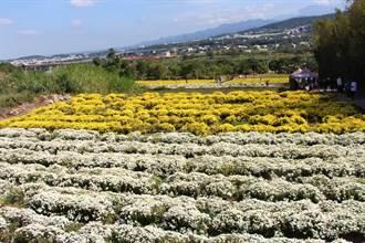 守護苗栗農產 杭菊、草莓嚴格檢驗