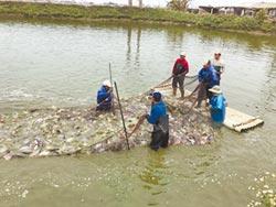 台灣鯛收購啟動 漁民盼放寬標準