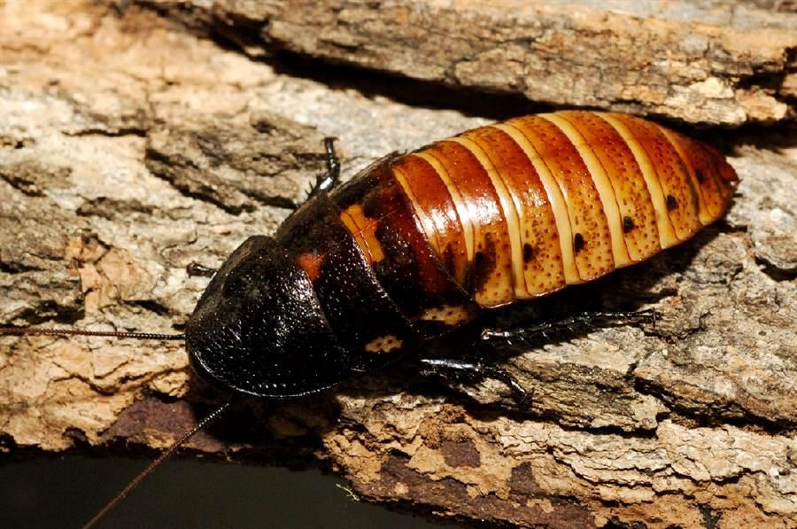 俄羅斯一隻巨型母蟑螂生產時遇上併發症,獸醫緊急為她進行手術。畫面為示意圖,非當事蟑螂,也非秘魯巨人蟑螂。(示意圖/美聯社)