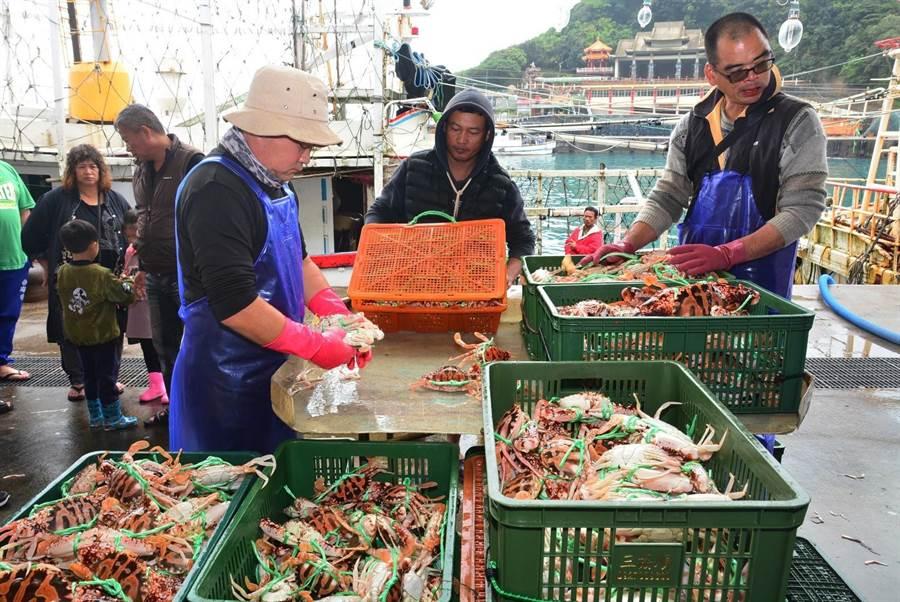 捕蟹漁民大豐收,正在整理分級捕撈到的萬里蟹。(新北市漁業處提供/譚宇哲新北傳真)