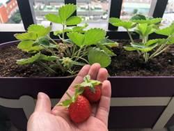 冬天也能吃健康!自種草莓、茼蒿、芝麻菜有秘方