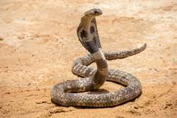 男模仿影片親毒蛇引圍觀 下秒GG