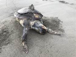 心痛!相隔不到百米 2隻保育綠蠵龜擱淺死亡