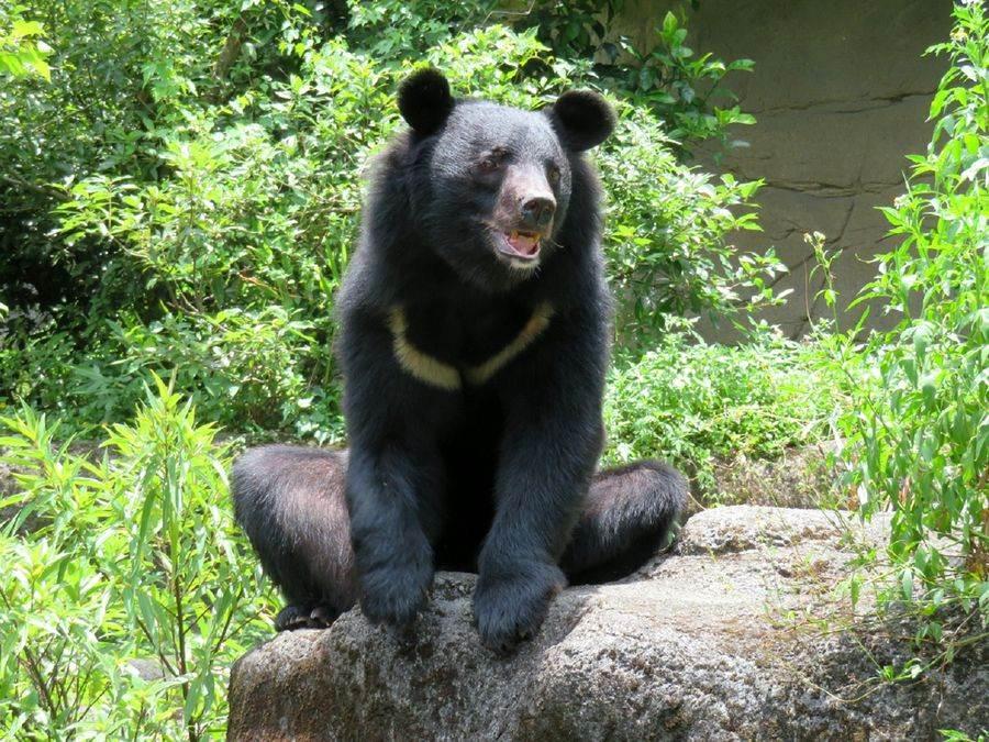亞洲黑熊「黑糖」,今年12月30日要過11歲的生日了! (台北市立動物園提供)