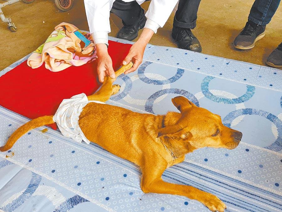 如有寵物癱瘓,做了手術還是站不起來,此時就會合併使用針灸再加上中藥以及後續復健,這就是最典型的中西醫整合。圖為板橋動物之家癱瘓動物長照復健工作。(譚宇哲翻攝)
