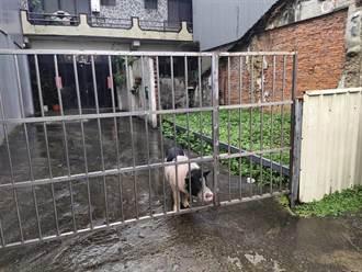 小豬迷航5公里 警察啟動吐司誘豬計畫